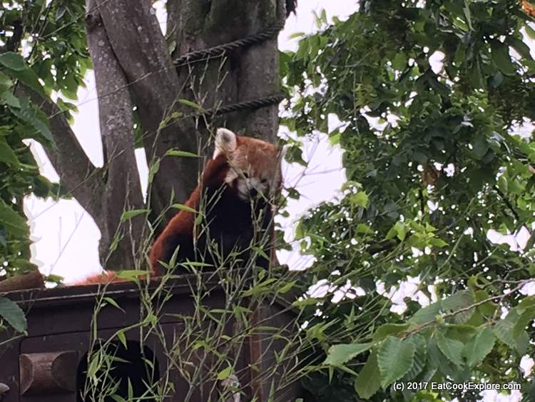 Paradise Wildlife Park Meet the Red Panda