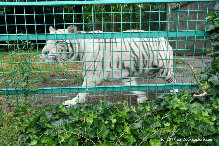 Paradise Wildlife Park White Tiger