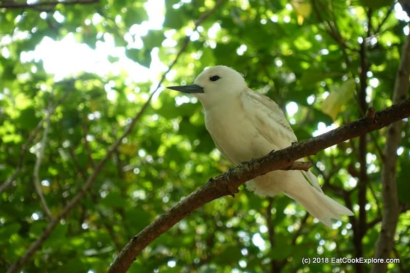 Stunning Fairy Tern on Ile aux Cocos